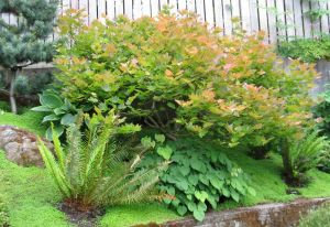 A dwarf Japanese maple from Baltzer's is a stunner in the Dobsons' garden.